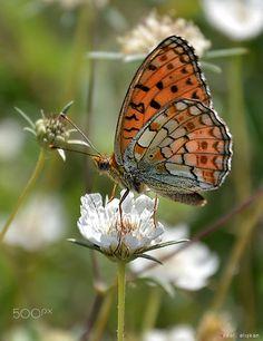 butterfly by Erdal Çalışkan on 500px