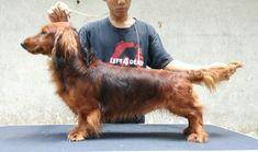 Dijual Anjing Dachshund, For Sale Dachshund Import Lithuanian Europe, Lokasi: Jakarta Selatan, Minat Hub.: 087788109755,  No. Iklan: 1816, Informasi lebih detil silakan kunjungi iklan pada link di bawah ini. www.pettoto.com/for-sale-dachshund-import-lithuanian-europe-jakarta-selatan