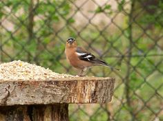On the bird table at Weirwood reservoir today - Where to watch wildlife - Wildlife Bird Tables, Chaffinch, Arbors, Wildlife, Birds, Nature, Zebra Finch, Finches, Naturaleza