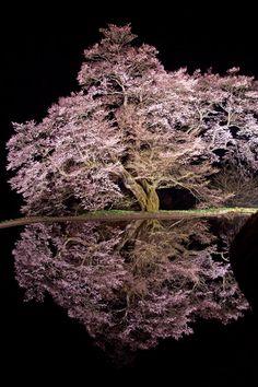 Sakura tree of supposedly 400 to 500 years old, Koma-tsunagi Sakura Tree, Achi, Nagano, Japan
