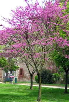 Cercis siliquastrum (Judasboom) zeer mooie kleine boom, H: 6m x W 4m