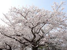 Cherry blossoms...  Hirosaki-shi, Aomori Prefecture, Japan.