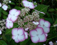 Hydrangea serrata 'Kiyosumi' is a small plant, rarely achieving 1m in height. Inflorescence: Lacecap, with purple fertile flowers surrounded irregularly with two-tone ray florets. Discovered on Mount Kiyosumi, Chiba province, Japan. Bred by Yasaka Hayasha, Japan, in 1950.