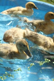 Our eleven Welsh Harlequin ducklings are just over three weeks old. They're more duck than duckling now. Still primarily yellow in colo. Welsh Harlequin Duck, Ducks, Celtic, Third, Pets, Yellow, Animals, Animales, Animaux