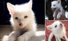 Meet the two-month-old albino fox cub who thinks she's a puppy #DailyMail