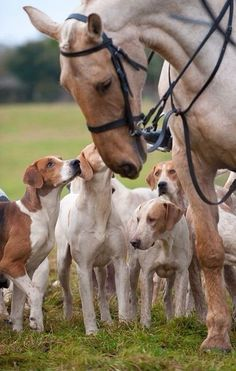 Hunting team- My heaven will hopefully be full of hound dogs and horses. All The Pretty Horses, Beautiful Horses, Animals Beautiful, Cute Animals, Barn Animals, Horses And Dogs, The Fox And The Hound, Clydesdale, Mundo Animal