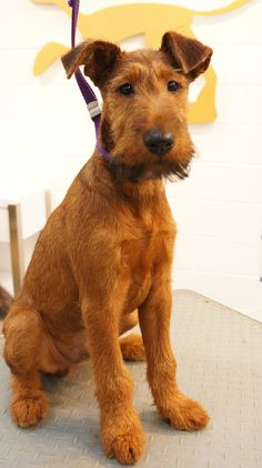 Mikey - Irish Terrier Puppy Introduction