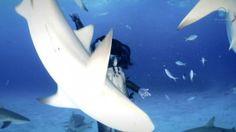 L'Australienne et « sirène professionnelle » Hannah Fraser danse au fond de la mer, sans équipement de plonger et sans protection, avec des requins-tigres atteignant parfois 5 mètres de long. Une première mondiale afin de protester contre l'abattage des squales…