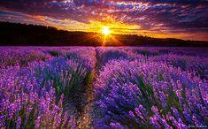 Afbeeldingsresultaat voor lavender