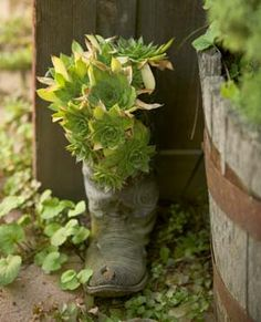 hens and chicks in repurposed old cowboy boot...will definitely be trying this idea!