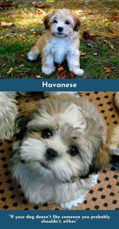 """""""Dogs' lives are too short. Their only fault, really."""" – Agnes Sligh #havanese #havanesepuppy"""