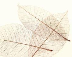 Art Photo - Sheer Leaves III - art prints and posters