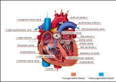 Blood Circulation in human heart.