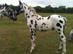 Jack, a Haverlands Appaloosa foal