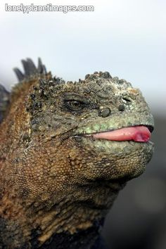 Marine Iguana, Galapagos Islands I got to snorkel with a whole bunch of these guys in the ocean last summer