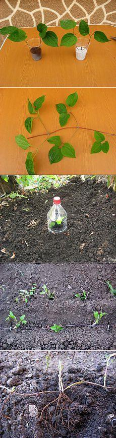 Размножение клематисов. черенкованием, отводками | Дачный участок