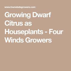 Growing Dwarf Citrus as Houseplants - Four Winds Growers