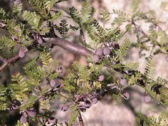 Bursera microphylla (fruits) - Burseraceae by Kerry D Woods, via Flickr