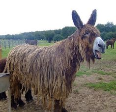 Poitou Donkey, also know as the Mammoth Donkey is an very interesting creature. They are friendly , affectionate and docile. It is the oldest approved breed in France. However, it also the least known and rarest. There many be only around 180 purebred Poitou in existence today.