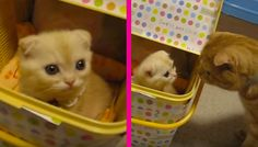 Ganmu the ginger cat feels a littleuncomfortable when he first discovered and metthis new tiny kitten. and while Ganmu the