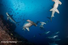 Schooling hammerhead shark by nicksong Underwater Photography Underwater Photos, Underwater World, Underwater Photography, Hammerhead Shark, Under The Sea, Animals, Boat, Sign, Free Shipping