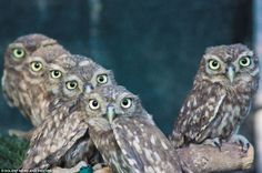 The photographer of these owls was caught by surprise when he looked through the camera lens and saw a perfect line of eyes staring back at him
