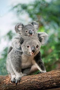 Koala Mother Carrying Joey On Back
