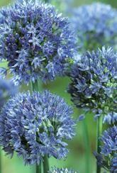 Allium caeruleum- For pollinators