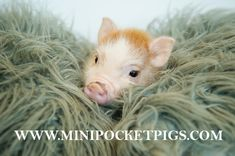 Reputable breeder of high quality and healthy small indoor pet pigs. Mini Pigs For Sale, Pocket Pig, Indoor Pets, Pet Pigs, Super Cute Animals, Exotic, Healthy, Health