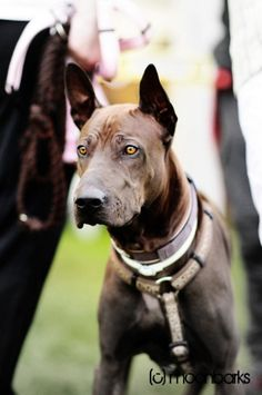 Beautiful Thai ridgeback guy at International dog show Mlada Boleslav 2011     Rare dog breeds...  Thai Ridgeback Dogs,  learn more http://doggytidbits.blogspot.com/