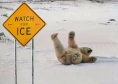 A bear fail in the ice