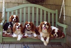 Pups on a porch swing ... fun :) Cavalier King Charles Spaniels