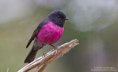 Pink Robin Petroica rodinogaster - Barraimaging