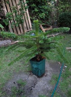 If you're looking for something different to grow as a houseplant or an outdoor container plant, consider the monkey puzzle tree. What is a monkey puzzle tree? Read here to find out more.