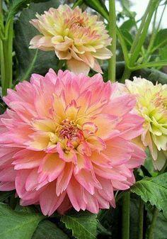 Gorgeous Pink Dahlia