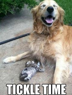 This Golden Retriever looks like he's getting a kick out of this little kitten. PP: Tickle me! Funny Animals With Captions, Funny Captions, Cute Funny Animals, Funny Dogs, Silly Dogs, Animals Images, Animals And Pets, Baby Animals, Funny Animal Pictures