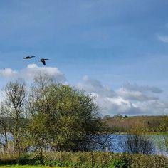 Wild Canada geese outside @SaltandMalt Chew Valley Lake ⠀⠀ #saltandmalt #chewvalleylake #wild #wildgeese #flying #lakeside #nature #naturephotography #wildlifephotography #spring #sunshine #clearskies #beautiful #nofilterneeded