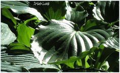 This hosta, 'Irish Luck', is grown by a Canadian and she is an awesome gardener. Plus, she takes great photos.