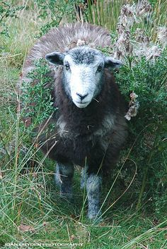 I want a Herdwick Sheep sooo bad. I might just have to buy myself a farm in England just so I can have one.