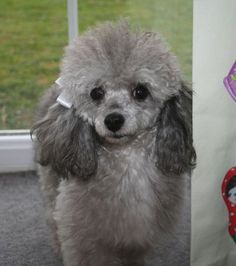 Silver Toy Poodles for Sale & Tiny Silver . The post Tiny silver toy poodle& months old Toy Poodles For Sale, Poodle Puppies For Sale, Teacup Poodle Puppies, Tiny Toy Poodle, Corgi Puppies, Chihuahua, I Love Dogs, Cute Dogs, Awesome Dogs