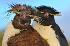 Southern Rockhopper Penguin (Eudyptes chrysocome) videos, photos and sound recordings Penguin Breeds, Penguin Species, Penguin World, Rockhopper Penguin, Flightless Bird, Animal 2, Bird Pictures, Wild Birds, Bald Eagle