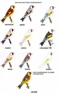 Goldfinch mutant's
