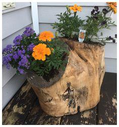 Old maple tree turned flower pot.