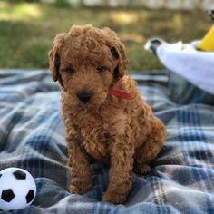 15 Best Mini Golden Doodle puppies images in 2018 | Golden doodles