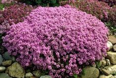 10 x 20 Wooly Thyme, Thymus Serpyllum, Thyme Plant, Eco Garden, Grands Pots, Plant Order, Border Plants, Ground Cover Plants, Garden Maintenance