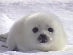 baby seal...looks like a little marshmallow!