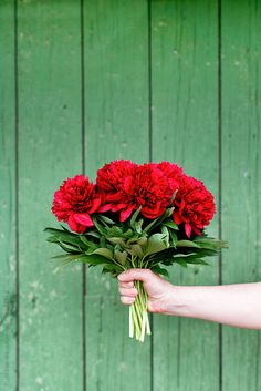 Woman holding a bouquet of freshly cut red peonies against wooden green wall