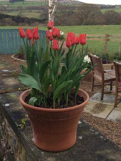 Tulips pond side.