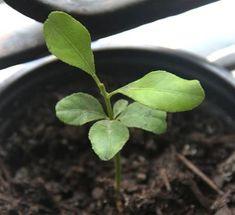 レモンを種から育てよう♪ Plant Leaves, Flowers, Lemon, Knowledge, Outdoors, Gardening, Lawn And Garden, Plants, Outdoor Rooms