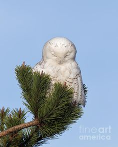 "A Snowy Owl photographed peacefully at rest while perched in an Evergreen branch during Washington's ""echo"" irruption year."